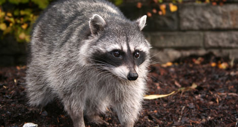 5 Effective Tips To Remove Raccoon From Your Property By Experts
