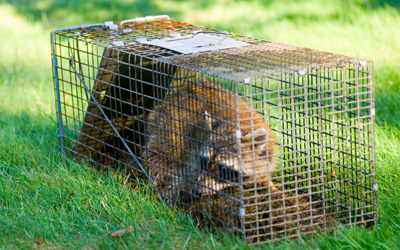 Why DIY Wildlife Removal Is Dangerous