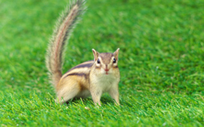 3 Ways To Get Rid Of Chipmunks From Your Yard