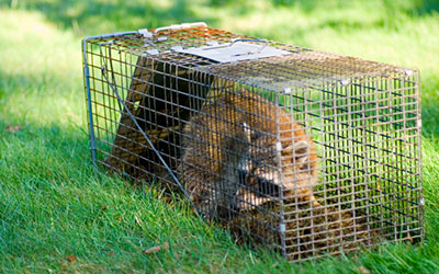 Why DIY Wildlife Removal May Not A Good Idea