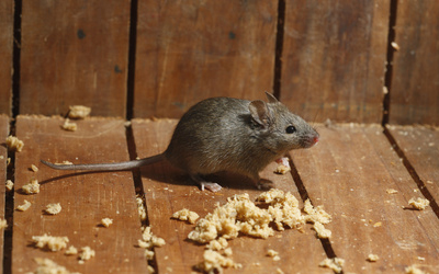 Few-Steps-To-Be-Taken-When-Mice-Have-Invaded-Your-Home