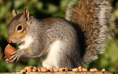 Squirrels In Attic? Useful Tips To Get Rid Of Them
